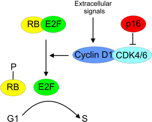 Regulation of the cell cycle G1/S transition by cyclin D1, CDK4 and p16. RB, retinoblastoma protein, CDK4/6, cyclin-dependent kinase 4/6.