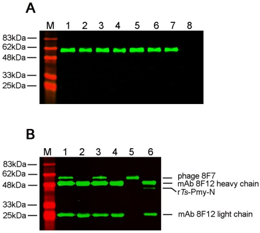 Specific binding of positive phage clones to mAb 8F12 by Western blot (A) and immunoprecipitation (B) analyses.(A). Seven positive phage clones were transferred to a PVDF membrane and a wild-type M13 phage was used as a negative control. The mAb 8F12 recognized a single band with a MW of approximately 60 kDa (displayed peptide co-expressed with phage coat protein pIII) in all seven positive clones, but not in the M13 control. M:Marker; Lanes 1-7: seven positive phage clones; Lane 8: Wild-type M13 phage. (B). Immunoprecipitation of positive phage 8F7 with mAb 8F12 at non-denatured and denatured conditions. M:Marker; Lane 1: mAb 8F12 pulled phage 8F7 in non-denaturing lysis buffer; Lane 2: mAb 8F12 pulled wild-type M13 phage in non-denaturing lysis buffer; Lane 3: mAb 8F12 pulled phage 8F7 in denaturing lysis buffer; Lane 4: mAb 8F12 pulled wild-type M13 phage in denaturing lysis buffer; Lanes 5: phage 8F7 only; Lane 6: mAb 8F12 pulled rTs-Pmy-N.