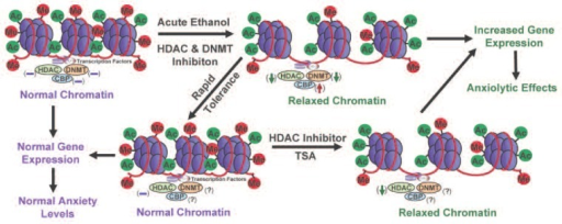 A schematic diagram depicting possible epigenetic mechanisms acting in neuronal circuits of the amygdala that may contribute to rapid tolerance to the anxiolytic effects of ethanol. Acute ethanol exposure can inhibit both histone deacetylase (HDAC) and DNA methyltransferase (DNMT) activities (Pandey et al. 2008a). This inhibition correlates with increased amygdaloid levels of CREB-binding protein (CBP), which has histone acetyltransferase (HAT) activity. The observed changes in HDAC activity and CBP levels also correlate with increased histone acetylation (H3-K9 and H4-K8) in the central and medial nucleus of amygdala, resulting in a relaxed chromatin structure. As a result, the transcriptional machinery can more easily access the DNA, leading to increased gene expression. Increased amygdaloid expression of certain genes, such as neuropeptide Y or brain-derived neurotrophic factor, may mediate the anxiolytic effects of acute ethanol exposure (Pandey et al. 2008a, b). Cellular tolerance at the level of HDAC-induced chromatin remodeling in the amygdala may be operative in rapid tolerance to the anxiolytic effects of ethanol (Sakharkar et al. 2012).NOTE: (↓) = decrease; (↑) = increase; (−) = normal; (?) = unknown; Me = methylation site; Ac = acetylation site.