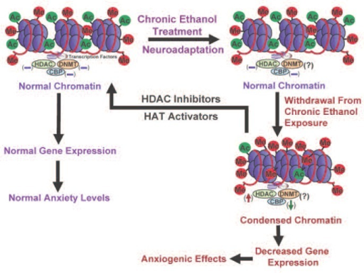 A representative model of possible epigenetic mechanisms acting in neuronal circuits of the amygdala that may contribute to the development of anxiety-like behaviors during ethanol withdrawal after chronic exposure in rats. Chronic ethanol exposure and the concomitant neuroadaptations in the amygdala of rats do not significantly affect levels of histone acetylation, CREB-binding protein (CBP), or histone deacetylase (HDAC) activity, because these were altered by acute ethanol exposure (see figure 4). However, withdrawal after chronic ethanol exposure is associated with increased HDAC activity and decreased levels of CBP and associated histone acetylation (Pandey et al. 2008a). As a result, the chromatin configuration may become more condensed, which limits accessibility of the transcriptional machinery to the DNA. This may result in decreased gene expression levels of neuropeptide Y and brain-derived neurotrophic factor, both of which have been linked to increased anxiety-like behaviors (i.e., have anxiogenic effects) following withdrawal from chronic ethanol exposure (Pandey et al. 2008a,b). HDACs and histone acetyltransferases (HATs) are promising targets in the possible reversal of these anxiogenic consequences of withdrawal. Thus, pharmacological treatment using potent HDAC inhibitors or HAT activators may lead to the normalization of reduced histone acetylation and subsequent stabilization of gene expression and anxiety levels.NOTE: (↓) = decrease; (↑) = increase; (−) = normal; (?) = unknown; Me = methylation site; ac = acetylation site