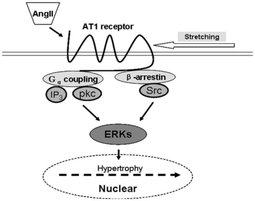Schema for the mechanism of cardiac hypertrophy via AT1-R-dependent signaling pathway induced by AngII or mediated by mechanical stretch, respectively.
