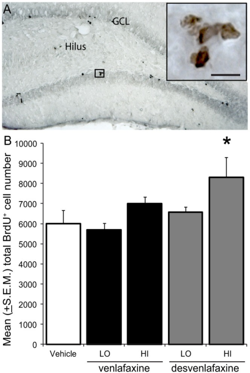 High dose desvenlafaxine increases NPCproliferation and survival in the DG of rats.A)Representative brightfield image of BrdU+ cellsrevealed in the dentate gyrus of a vehicle-treated rat using DAB BrdU (inbrown). Scale bar  = 50 µm. B) Stereological estimates revealed more 10–14day-old BrdU+ cells in the dentate gyriof DES-HI- versus vehicle-treated rats (p = 0.01*).