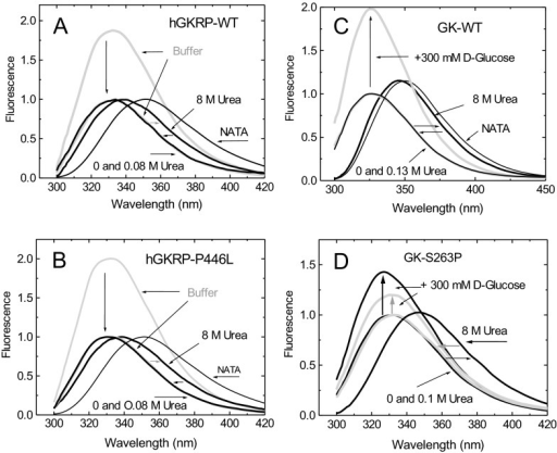 Structural stability and unfolding/refolding cycles of GKRP-WT and GKRP-P446LTF spectra for 0.3 μM GKRP in the presence or absence of 8 M urea at 20°C for GKRP-WT (A) and for GKRP-P446L (B). The horizontal arrows show the red and blue shifts of the spectra during denaturation and refolding at 4°C respectively. Vertical arrows show the TF spectra of the proteins in buffer normalized to 1. (C) TF spectra of WT-GK and (D) established instability mutant GK-S263P in the presence or absence of 8 M urea (λexc=295 nm).