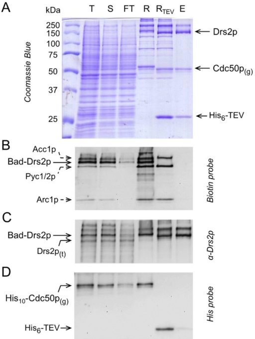 Streptavidin-based purification of Drs2p and Cdc50p.N-terminally Bad-tagged Drs2p and His10-tagged Cdc50p were purified onto a streptavidin column, and eluted by TEV cleavage. (A) Coomassie Blue stained 10% SDS-PAGE. (B, C, D) Immunodetection using a Biotin probe, a α-Drs2p antibody and a Histidine probe, as indicated. T, total membranes before solubilization; S, DDM-solubilized fraction; FT, flow-through; R, Streptavidin Sepharose resin before addition of TEV; RTEV, Streptavidin Sepharose resin after incubation with TEV for 16 h at 6°C; E, fraction eluted from the resin after incubation with TEV. Drs2p(t), truncated form of Drs2p; Cdc50p(g), glycosylated form of Cdc50p; His6-TEV, N-terminally hexahistidine-tagged TEV.