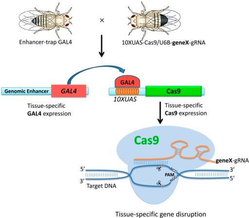 A schematic overview of the CMCM system. For each gene of interest (gene X), transgenic stocks of U6B-geneX-gRNA, which ubiquitously express gRNA targeting the gene, were established. Transgenic 10ΧUAS-Cas9/U6B-geneX-gRNA male flies were recovered after crossing the 10XUAS-Cas9 stock with the U6B-geneX-gRNA stock. The recovered male flies were crossed with the enhancer-trap Gal4 virgin flies to drive Cas9 expression in specific tissues. Mutations were induced only in the specific tissue determined by the Gal4 stocks.