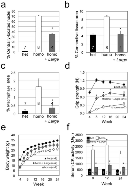 Quantitative analysis of the therapeutic effects of AAV9-MCK-Large treatment in Largemyd mice.Amelioration of dystrophic histology after AAV9-MCK-Large treatment was evaluated by quantifying muscle fibres with centrally located nuclei (a; P = 0.007), measuring infiltration of connective tissue by collagen I-immunofluorescence staining (b; P = 0.007) and infiltration of macrophages by F4/80-immunofluorescence staining (c; P = 0.011). Therapeutic efficacy over time was evaluated by grip strength (d; P = 0.007, 0.006, 0.008, and 0.014 for 8, 12, 16, and 24 weeks), body weight (e; P = 0.019, 0.019, 0.024, 0.017, and 0.032 for 6, 8, 10, 12, and 14 weeks), and serum CK activity (f; P = 0.021, 0.008, and 0.011 for 8, 12, and 24 weeks). Data shown are mean ± s.e.m. for each group (n is indicated in the graph). *P ≤ 0.05 vs. non-treated Largemyd homozygous mice (Mann–Whitney U test). Het, Largemyd heterozygous controls; homo, untreated Largemyd homozygous mice; and homo + Large, Largemyd homozygous mice with AAV9-MCK-Large treatment.