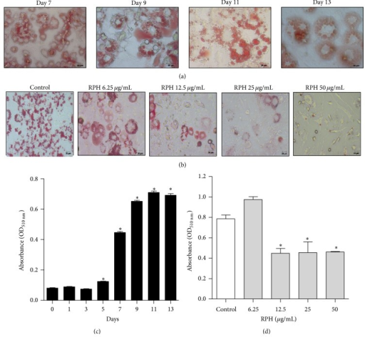 Effect of RPH on lipid accumulation in 3T3-L1 cells. Oil-Red O staining representing the effect of induction of differentiation (a) and the effect of RPH 6.25, 12.5, 25, and 50 μg/mL (b) on lipid accumulation in 3T3-L1 cells (400x magnification). The staining intensity of Oil-Red O was measured at 510 nm wavelength and quantified ((c) and (d)). Values are expressed as mean ± SEM of three independent experiments. *P < 0.05 compared with untreated cell control (day 0).