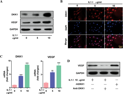 Dickkopf-related protein 1 (DKK-1) increased the expression levels of inflammation-induced vascular endothelial growth factor (VEGF) in the synovial fibroblasts. (A) Treatment with interleukin (IL)-1β for 24 h dose-dependently increased the protein expression levels of both VEGF and DKK-1, as determined by western blot analysis. (B) Synovial fibroblasts treated with IL-1β (0, 5, or 10 µg/ml) for 24 h increased the expression levels of DKK-1, as demonstrated by immunofluorescence. The images of each group (0, 5, and 10 µg/ml IL-1β) were captured using the same parameters. Scale bars, 25 µm. (C) Treatment with IL-1β at the indicated concentrations (0. 5, and, 10 µg/ml IL-1β) increased the mRNA expression levels of DKK-1 and VEGF. The data are presented as the mean ± standard error of the mean. **P<0.01, and ***P<0.001, vs. the vehicle group, as determined by one-way analysis of variance. (D) Synovial fibroblasts treated with 10 µg/ml recombinant human (rh)DKK-1 for 24 h exhibited increased expression levels of VEGF, and synovial fibroblasts treated with 10 µg/ml anti-DKK-1 monoclonal antibody exhibited decreased expression levels of VEGF, even when combined with IL-1β treatment.