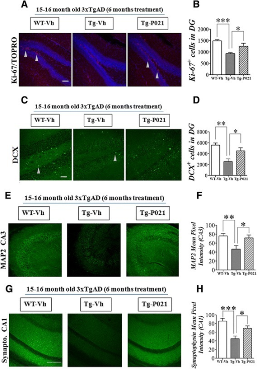 P021 treatment enhances dentate gyrus neurogenesis and rescues dendritic and synaptic loss in 3xTg-AD mice. Reprinted from Kazim et al. [99] with permission from Elsevier. a-d DG neurogenesis, as evaluated by counting Ki-67 (cell proliferation maker) and doublecortin (DCX, marker for immature neurons) positive cells, was significantly deficient in 15–16 month-old 3xTg-AD mice, and was corrected by P021 treatment. a, c Representative photomicrographs illustrating Ki-67+/TOPRO and doublecortin (DCX) + cells in the DG of hippocampus from 15–16 month-old/6 months treatment mice. b, d Densitometric quantification data of Ki-67+ and DCX+ cells are shown as mean ± S.E.M. from WT-Vh (n = 6), Tg-Vh (n = 7) and Tg-P021 (n = 7), and WT-Vh (n = 5), Tg-Vh (n = 6), and Tg-P021 (n = 6), respectively. Arrow heads indicate positive cells. e-h The 15–16 month old 3xTg-AD mice showed significantly reduced MAP2 (dendritic marker) and synaptophysin (presynaptic marker) expression level (fluorescence intensity) in the CA3 and CA1 regions of the hippocampus, respectively. P021 treatment significantly ameliorated this deficit. e Representative photomicrographs illustrating MAP2 immunoreactivity in the CA3 region. f Densitometric quantification of the immunohistochemistry is shown as mean ± S.E.M. fromWT-Vh (n = 6), Tg-Vh (n = 7), and Tg-P021 (n = 7). g Representative photomicrographs illustrating synaptophysin immunoreactivity in the CA1 region. h Densitometric quantification of the immunohistochemistry is shown as mean ± S.E.M. from WT-Vh (n = 6), Tg-Vh (n = 6), and Tg-P021 (n = 6). *p < 0.05, **p < 0.01, and ***p < 0.001. Scale bar = 100 μm