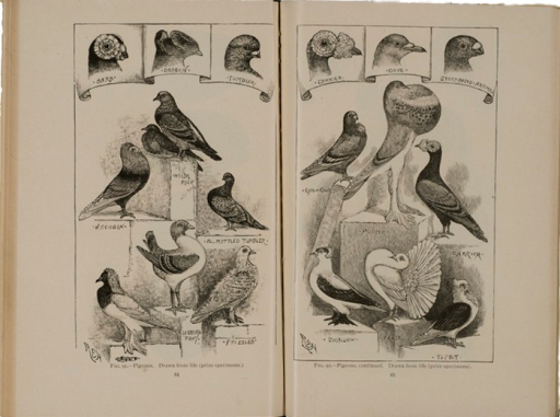 <p>Image of facing pages (p. 64-65) from Darwinism illustrated : wood-engravings explanatory of the theory of evolution / selected and drawn under the direction of Prof. George J. Romanes. Chicago : Open Court Pub. Co., 1892. Pages 64-65 show illustrations of several types of pigeons and detailed illustrations of their heads.</p>