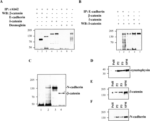 Association of δ-catenin with adhesive junction proteins in brain and in MDCK cells  stably expressing δ-catenin. (A)  δ-catenin coimmunoprecipitates  E-cadherin and β-catenin, but  not desmoglein. (1 and 6) Mock-transfected MDCK cells. (2–5, 8,  and 9) MF cells. (B) Reverse  immunoprecipitation showing  δ-catenin coprecipitated with  E-cadherin and β-catenin. (1)  Mock-transfected MDCK cells.  (2–5) MF cells. (C) δ-catenin  coimmunoprecipitates N-cadherin and β-catenin in brains. (1)  N-cadherin immunoblot of brain  fractions immunoprecipitated  using nonimmune rabbit IgG.  (2) N-cadherin immunoblot of  brain fractions immunoprecipitated using rAb62. (3) N-cadherin immunoblot of brain lysate. (4) β-catenin immunoblot  of brain fractions immunoprecipitated using rAb62. (D–F)  Cofractionation of brain δ-catenin with N-cadherin and synaptophysin. PnH, postnuclear  homogenates. P2, heavy membranes consisting of myelin, mitochondria, and crude synaptosomes. P3, mostly microsomes. SPM, synaptic plasma membranes. (D) Immunoblot showing brain fractionation profile of synaptophysin. (E) Immunoblot showing brain fractionation profile of δ-catenin. (F)  Immunoblot showing brain fractionation profile of N-cadherin. Molecular weight markers are indicated at the left of each panel.