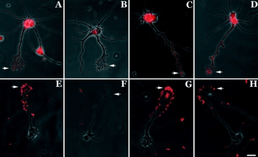 β-actin mRNA and protein localization is influenced by neurotrophin-3 (NT-3). (A) β-actin mRNA was prominent in the cell body and localized within the axonal process and growth cone in the form of spatially distinct granules (arrow; example of localized cell). (B) Cells that were starved in minimal essential medium (MEM) for 6 h showed hybridization within the cell body but growth cones did not reveal mRNA granules (arrow; example of nonlocalized cell). (C) Cells that were starved for 6 h and then stimulated with NT-3 for 10 min were observed to relocalize β-actin mRNA granules within growth cones (arrow). (D) Relocalization of β-actin mRNA within growth cones after 2 h in NT-3–supplemented MEM (arrow). (E) Cells grown in normal defined medium showed intense staining for β-actin protein within the minor neurites and the peripheral margin of the axonal growth cone (arrow) (example of localized cell). (F) Starvation resulted in reduced staining for β-actin protein within growth cones (arrow) (example of nonlocalized cell). (G and H) NT-3 stimulation for 10 min and 2 h restored the localization of β-actin protein within the peripheral margin (arrows). Bar, 15 μm.