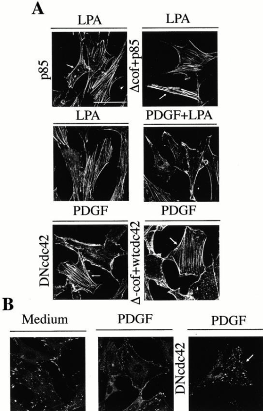 Actin cytoskeleton changes induced by PDGF stimulation or p85α expression in NIH-3T3 cells cultured on collagen. NIH-3T3 cells were cultured on collagen VI–coated plates. The samples (2 × 105 NIH-3T3 cells) were transfected with different combinations of vectors encoding HA-p85α, Δ-cof-N-WASP, myc-wt-Cdc42, and myc-DN-Cdc42 (indicated). After transfection, cells were incubated in complete medium, starved, and subsequently activated as in Fig. 2. (A) Cells were fixed and stained with FITC-phalloidin or, in the case of transfected cells stained simultaneously with FITC-phalloidin (depicted) and anti-myc, anti-HA, or anti-N-WASP Ab to detect transfected cells (indicated by an arrow). (B) Paxillin staining of NIH-3T3 cells cultured on collagen and transfected, starved, and treated as in A (indicated). The figure shows a representative experiment of four performed with similar results. Bar, 100 μm.