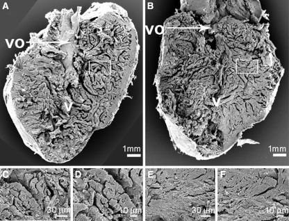 Morphological changes of zebrafish and cichlid hearts after exposure to chronic constant hypoxia. Scanning electron microscopy pictures of hearts from normoxia control zebrafish (a, c and d) and hypoxia-treated zebrafish (b, e and f). The bigger images show half of a heart ventricle, sectioned longitudinally. The smaller images represent a higher magnification of cardiac muscle. The scale is given at the bottom of each picture. Abbreviations used are: v ventricle and vo ventricular outflow tract