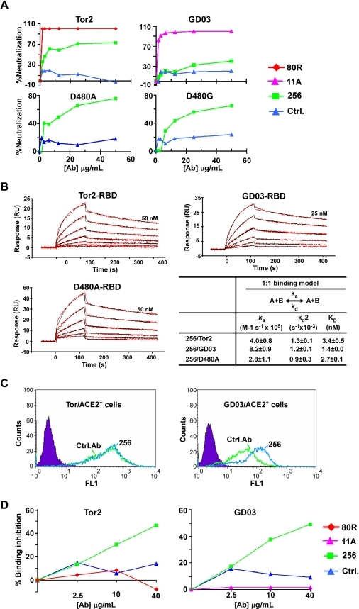 Characterization of Ab 256.A, Neutralization of pseudoviral infection by 256-IgG1. An anti-CXCR4 Ab 33-IgG1[42] was used as a negative control, 80R and 11A were used as positive control for Tor2- and GD03-viruses, respectively. B, Kinetic characterization of the binding of spike RBDs to 256-IgG1. Binding kinetics was evaluated similarly as described in Fig. 2. B. C, Competition of 256 for the binding of Tor2- or GD03-RBD-C9 to 293T-ACE2 cells. Left, competition for the binding of Tor2-RBD-Ig to 293T-ACE2 cells. 0.5 ug/mL of Tor2-RBD-Ig or control-Ig (Filled purple) used for the staining of 293T-ACE2 cells and the scFvs (control or 256) were used at 5 ug/mL to compete for the binding. Right, competition for the binding of GD03-RBD to 293T-ACE2 cells. The assay was the same as Fig. 2C except 256 was used here. D, Ab 256 Competition ELISA Assay. A fixed amount of 256 scFv expressing phages (256-phages) were mixed with various scFv-Fc antibody or full-length IgG1s at indicated antibody concentration, and the mixtures were then added to Tor2-RBD (left) or GD03-RBD (right) coated ELISA plate. The competition of 256-IgG1s for the binding of 256-phages to RBDs were determined by measuring the remaining binding of 256-phages using HRP-anti-M13 antibody. 256-phages homologous to 256-IgG1 were used as positive controls and both showed competition for 256-phage binding to Tor2-RBD and GD03-RBD, 80R or 11A did not show inhibition of 256-phages binding to either Tor2- or GD03-RBDs.