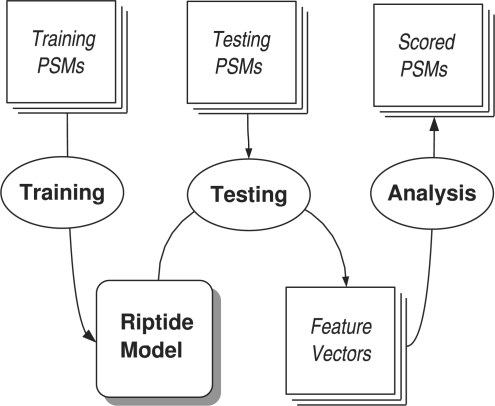 Experimental overview. We start with a collection of high-confidence PSMs. These training PSMs are used to train the Riptide model, which consists of a collection of DBNs that model the probability distributions governing peptide fragment ion intensities. Riptide is used to evaluate testing PSMs to produce a vector of features for each PSM, each feature related to a probability assigned to the PSM by one of the Riptide DBNs. Finally, these feature vectors can be analyzed by additional algorithms (such as SVMs) to produce scores for the test PSMs.