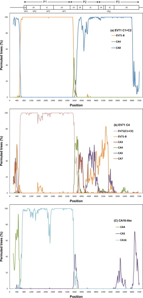 "Identification of recombined regions between different species of human enterovirus (HEV)-A. The upper panel shows the genomic structure of enterovirus (EV) 71. The results from a bootscan analysis indicated the likelihood of recombination of (a) EV71-C1+C2, (b) EV71-C4, and (c) CA16-like with their potential parental species/genotype. All species listed in ""Methods"" were used, but only species or groups with > 50% phylogenetic relatedness are shown. EV71-C1+C2 (DQ452074, AF119795, and AF176044); EV71-C4 (AF302996 and AY465356); CA16-like (AF177911 and AY790926); and EV71-B (U22522, AF352027, and AF316321)."