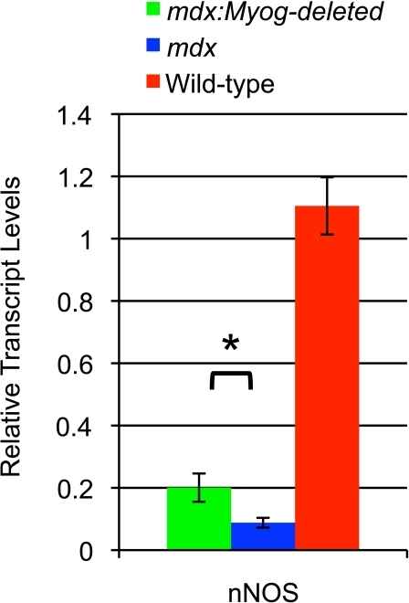 Altered expression of nNOS in mdx, mdx:Myog-deleted, and wild-type hindlimb muscle.RT-qPCR analysis demonstrated that transcript levels of nNOS were reduced in mdx mice (n = 3). Expression of nNOS was increased 2.2-fold in mdx:Myog-deleted mice (n = 3) compared to that in mdx mice. Error bars represent 1 standard deviation (*p<0.05).