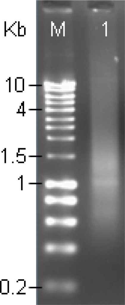 using gel electrophoresis to study dna conclusion Fingerprinting – augment the amount of dna using a technique called pcr   called gel electrophoresis  this way, and rna sampling is widely used to study.