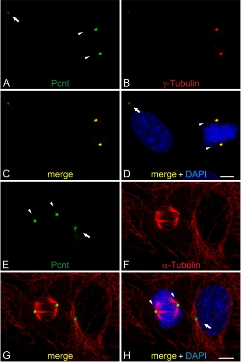 Localization of Pericentrin during the cell cycle in NIH 3T3 mouse fibroblasts.(A–D) Triple staining of endogenous Pcnt (A, green), γ-tubulin (B, red) as a centrosomal marker, and DAPI (D, blue) as a nuclear marker in NIH 3T3 mouse fibroblasts. (C–D) The merge of the stainings shows the localization of Pcnt at the centrosomes in dividing (arrowheads) and in non-dividing cells (arrow). (E–H) NIH 3T3 mouse fibroblast cells stained for endogenous Pcnt (E, green), α-tubulin (F, red) as a marker for microtubules, and DAPI (H, blue). (G–H) In the merge pictures Pcnt is localized at the centrosomes. Scale bars: 5 µm (H, D).