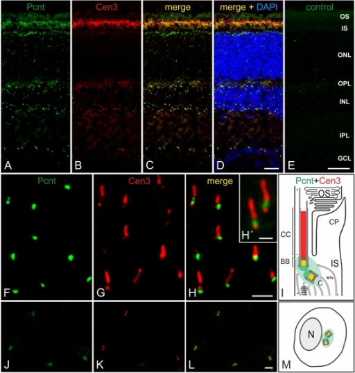 Localization of Pericentrin at connecting cilia and at centrosomes in the mouse retina.(A–D) Micrographs of a vertical cryostat section through an adult mouse retina double labeled for Pcnt (A, green) and Cen3 (B, red). (C, D) As seen in the merge of the stainings with the additional labeling of the cell nuclei with DAPI, Pcnt and Cen3 colocalize at the ciliary region of the photoreceptors and at the centrosomes of the other retinal cells. (E) Preadsorption control of the MmPeriC1 antiserum with its antigenic peptide results in the absence of Pcnt labeling. (F–M) Subcellular localization of Pcnt (F, J, green) and Cen3 (G, K, red) at the BBC of the photoreceptor connecting cilia (F–H) and at the centrosomes of non-photoreceptor cells in the INL (J–L). (H') Higher power view showing the partial colocalization of Pcnt and Cen3 at the BBC. (L) In non-photoreceptor cells, Pcnt and Cen3 colocalize at the centrioles of the centrosomes. (I, M) Schemes summarizing the subcellular localization of Pcnt and Cen3 at the connecting cilium of photoreceptors (I) and at the centrosomes of non-photoreceptor cells (M). OS: outer segment; IS: inner segment; ONL: outer nuclear layer; OPL: outer plexiform layer; INL: inner nuclear layer; IPL: inner plexiform layer; GCL: ganglion cell layer; BB: basal body; C: centriole; CC: connecting cilium; CP: calycal process; MTs: microtubules; N: nucleus. Scale bars: 20 µm (D, F), 2 µm (I), 1 µm (I'), 2 µm (M).
