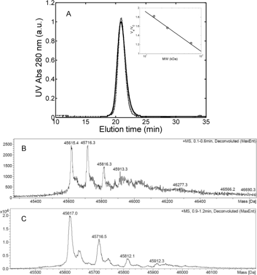Protein characterization.(A) SEC chromatogram of 1 g/L light chain solution in 25 mM PBS buffer at pH 7.4 (―) and in 20 mM HCl at pH 2.0 (–). Insertion: calibration curve obtained with bovine serum albumin (60 kDa), chymotrypsinogen A (25 kDa) and lysozyme (14.5 kDa); (B) and (C) Mass spectroscopy analysis in 25 mM PBS buffer at pH 7.4 (B) and in 20 mM HCl at pH 2.0 (C).