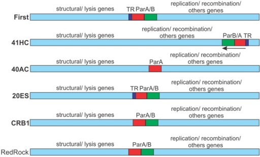 Partitioning loci location in mycobacteriophages.Schematic representations of the mycobacteriophage genomes showing the location of putative parA and parB genes and sequences of tandem repeats (TR) functioning as putative centromers. Genes transcribed leftward are indicated. RedRock is included as a representative of parA/parB containing mycobacteriophages as published by Hatfull [31].