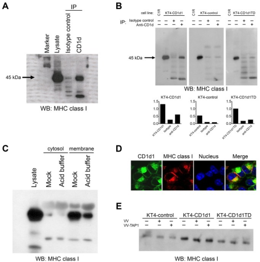 Murine MHC class I and CD1d molecules physically associate.(A and B) Lysates from BMDCs (A) or mock-treated and acid-stripped KT4-CD1d1, KT4-CD1d1TD, or KT4-control cells (B) were co-immunoprecipitated with the 1H6 mAb or an isotype control mAb and immunoblotted with an anti-MHC class I mAb. Presence of a MHC class I–specific band in the lane loaded with lysate co-immunoprecipitated with the CD1d-specific mAb 1H6, but not in the lane loaded with lysates treated with an isotype control mAb, shows the association of MHC class I and CD1d molecules. The graphs below (B) indicate relative band intensities. (C) Mock- or acid-treated KT4-CD1d1 cells were lysed to prepare membrane and cytosolic fractions; the association of MHC class I and CD1d was analyzed in both fractions. (D) Confocal microscopy shows co-localization of CD1d (green) and MHC class I (red). (E) KT4-CD1d1, KT4-CD1d1TD and KT4-control cells were mock-infected or infected with a control VV or VV-TAP1 for 4 h. Cells were lysed and co-immunoprecipitated with the 1H6 mAb and immunoblotted with an anti-MHC class I mAb.
