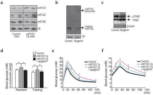 Apigenin improves glucose tolerance in miR103 transgenic mice.(a), Expression levels of mature miR103, miR122, and miR185 in liver tissues of miR103 transgenic mice (miR103 Tg) were determined by Northern blotting. (b), Expression levels of mature miR103 and its precursor in liver tissues of miR10-transgenic mice treated with apigenin were determined by Northern blotting. Control (DMSO) or apigenin (40 mg/kg) was injected intraperitoneally daily for 14 days. Representative results from three independent mouse sets are shown. (c), Liver tissue homogenates from miR103 transgenic mice were separated using a phos-tag gel to determine the phosphorylation status of TRBP. Representative results from three independent mouse sets are shown. Full-length blot image is available in Supplementary Figure 5g. (d), Blood glucose levels were determined at random times or after 12 h fasting in control and miR103 transgenic (miR103 Tg) mice (n = 8 in each group). Data represent the means ± s.d. *, p < 0.05 (t-test). (e), (f), Glucose and pyruvate tolerance tests in control, miR103 transgenic (miR103 Tg), and miR103 transgenic with apigenin treatment (miR103 Tg + apigenin) mice (n = 6 in each group). Data represent the means ± s.d. *, p < 0.05 (t-test).