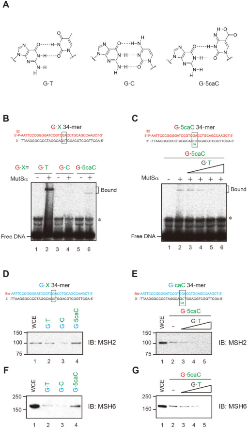 MutSα complex binds to G·5caC base pairs.(A) Postulated base-pairing models of 5caC with G. (B and C) A 34-mer oligonucleotide was 5′-labeled with 32P and annealed with a 34-mer oligonucleotide containing the 5caC. The mismatch substrates were incubated (B) with MutSα on ice for 20 min or (C) with MutSα and cold G·T mismatch substrates (lanes 3–6: non-labeled substrates/5′-labeled substrates molar ratio; ×1, ×10, ×50, and ×100) at 25°C for 20 min. Free and bound fractions were separated on nondenaturing 6% polyacrylamide gels containing 5 μM MgCl2. (D and E) Biotin-labeled 34-mer mismatch substrates were incubated (D) with whole cell extracts (10 μg) or (F) with whole cell extracts (10 μg) and G·T mismatch substrates (lanes 3–5: non-labeled substrates/5′-labeled substrates molar ratio; ×1, ×10, and ×50). Samples were loaded on 10% SDS-page gels, and MSH2 and MSH6 were detected by western blotting.