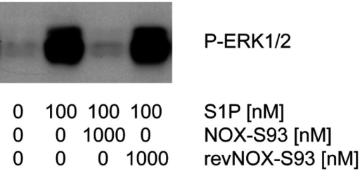 Inhibition of S1P induced ERK1/2 phosphorylation in HUVECs by NOX-S93HUVECs were cultured in 2D, serum-starved and stimulated with 100 nM S1P in the presence or absence of NOX-S93 or the non-functional control Spiegelmer® revNOX-S93 for 5 min. Activation of ERK1/2 was studied by Western blotting using a phosphospecific antibody. Whereas a 10-fold excess of NOX-S93 completely inhibited S1P-induced ERK1/2 phosphorylation, the control Spiegelmer® revNOX-S93 was inactive.