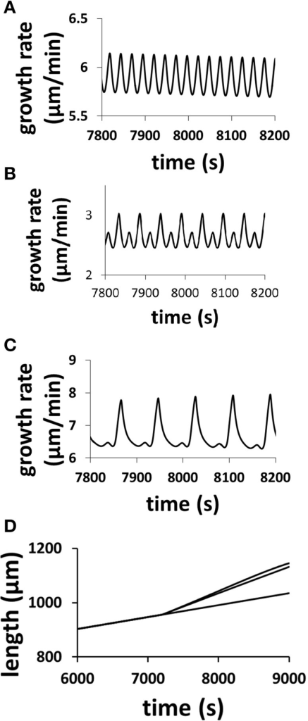 Modeling results reproduce the dependence of oscillatory periods of growth rate and pollen tube length on osmolarity in the media. Pollen tube grows in a media of 0.36 Osm. At time = 7200 s, osmolarity in the media changes to (A) 0.18 Osm; (B) 0.36 Osm (i.e., remaining unchanged); (C): 1.16 Osm following experiments (Zonia and Munnik, 2004, 2007, 2011; Zonia et al., 2006). (D): Panel (D) compares pollen tube length for the above three media conditions (top: 1.16 Osm; middle: 0.18 Osm; bottom: 0.36 Osm). In (A), the pollen tube radius linearly increases from 5 to 5.5 μm from 7200 to 9000 s. In (B), the pollen tube radius does not change (5 μm). In (C), the pollen tube radius linearly decreases from 5 to 3.5 μm from 7200 to 9000 s. In experiments, Zonia and Munnik (2004) show that, when osmolarity in the media decreases from 0.36 to 0.18 Osm, pollen tube radius increases. When osmolarity in the media increases from 0.36 to 1.16 Osm, pollen tube radius decreases.