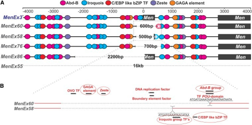 Putative transcription factor binding sites (TFBSs) that may participate in gene regulation and transvection at the Men locus. (A) Colored circles indicate putative TFBSs for the five genes we have analyzed in our study: Abd-B, Iroquois, C/EBP-like bZIP TF, GAGA element, and zeste. For each MenExi− allele, we indicate the excised region with bracket dotted lines. Faded circles represent TFBSs unique to an excision allele (in MenEx58− and MenEx60−). (B) Detail of the excision site of MenEx58− and MenEx60−, two alleles that differ in deletion size by ~100 bp and significantly differ in their ability to drive transvection. Each allele has a unique insertion at the excision site: MenEx58− has an additional Iroquois site; MenEx60− has an additional Abd-B site. TFBSs circled in red correspond to transcription factor genes analyzed with quantitative reverse-transcription polymerase chain reaction.