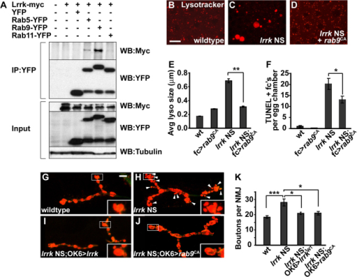 Lrrk physically binds to Rab9, and expression of activated rab9 rescues lrrk NS phenotypes. (A) In lysates from transiently transfected cultured Drosophila S2 cells, Lrrk-Myc co-immunoprecipitates with YFP-tagged Rab5 and more strongly with Rab9, but not with Rab11 or YFP alone. (B–D) Lysotracker staining of stage-12 follicle cells from wild-type flies (B), lrrk NS flies (C) and lrrk NS flies expressing constitutively active rab9 (rab9CA) specifically in follicle cells (D) shows dramatic suppression of the abnormal lysosome morphology seen in lrrk NS flies when rab9 is expressed. (E) Quantification of average lysosome size in Lysotracker-stained follicle cells shows suppression of lysosome enlargement by rab9CA in lrrk NS flies. n=16, 16, 34 and 33 egg chambers each, respectively, for the genotypes in E. **P<0.0001. (F) Similarly, premature follicle cell death in lrrk NS flies, as assessed by TUNEL staining, is suppressed by rab9CA. n=61, 68, 99 and 102 egg chambers each, respectively, for the genotypes in F. *P<0.05. (G–J) Staining of the presynaptic motor neuron at the neuromuscular junction (NMJ) at abdominal segment 4, muscle 4 in late third instar larvae with anti-cysteine string protein (CSP; red), which labels synaptic vesicles. Compared with wild type (G), lrrk NS larvae (H) show an overgrowth phenotype in which numerous small satellite boutons (marked with arrowheads) form adjacent to the larger normal boutons. This overgrowth phenotype is significantly suppressed by expression of either wild-type lrrk (I) or rab9CA (J) using the motor neuron-specific OK6-Gal4 driver. (K) Quantification of the numbers of boutons per NMJ in the indicated genotypes shows significant suppression of lrrk NS synaptic overgrowth with expression of both wild-type lrrk and rab9CA. n=27 NMJs analyzed for each genotype in K. ***P=0.0003, *P<0.05. lrrk NS is lrrk1/2. Scale bars: 5 μm in B–D, 10 μm in G–J.