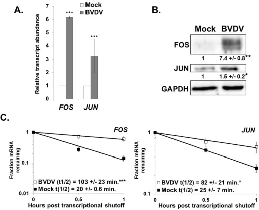 Changes in gene expression also indicate XRN1 suppression and increased mRNA stability during BVDV infection.Panel A. MDBK cells were either mock infected or infected with BVDV. Total RNA samples were assayed for the indicated cellular mRNAs by qRT-PCR using ACTB as a reference transcript. The average relative abundance of FOS and JUN mRNAs from three independent infections +/− standard deviation is depicted. Panel B. Western blot analysis of total protein samples using antibodies against FOS, JUN, or GAPDH. The average quantification of the blot (relative to GAPDH) +/− standard deviation from three infections is shown. Significance was determined by t-test with * p≤0.01; **p≤0.001. Panel C. mRNA half-lives were determined using actinomycin D for the FOS and JUN mRNAs in mock-infected or BVDV-infected MDBK cells. A representative mRNA decay curve is depicted with the average +/− standard deviation of each half-life from three independent infections shown in the graphical insets. Statistical analysis was performed using a t-test with * p ≤ 0.05 and ***p≤0.005.