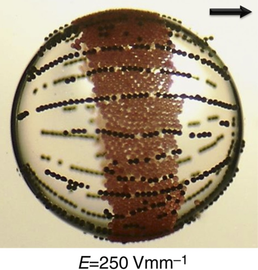 Silicone oil drop covered simultaneously with PE beads and metallic-coated glass beads.The applied electric field strength is 250 Vmm−1. The E-field direction is horizontal in the plane of the panels, as indicated by the arrow. The PE beads only form equatorial ribbons, and the metallic-coated particles only form chain-like structures. The dynamic 'pupil effect' observed for clay particles (see Fig. 6) cannot be realized for any of these cases in the present experiments. The drop radius is about 1 mm.