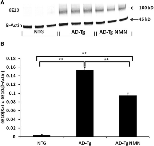 Full-length, transgene-derived amyloid precursor protein (APP) levels in brain homogenates following NMN treatment. (A) Representative Western blots of homogenates isolated from the brains of AD-Tg and non-transgenic (NTG) mice (3 months) probed with 6E10 antibody. (B) Transgene-derived full-length APP (~106kD) is observed in AD-Tg mice with negligible levels in the NTG mice. Full-length APP levels (ratio of APP:β-Actin) are significantly decreased in NMN-treated transgenic (AD-Tg NMN) mice compared to AD-Tg vehicle-treated. Data are presented as the average full-length APP ± SE. N = 6 separate animals per group. *p < 0.05.