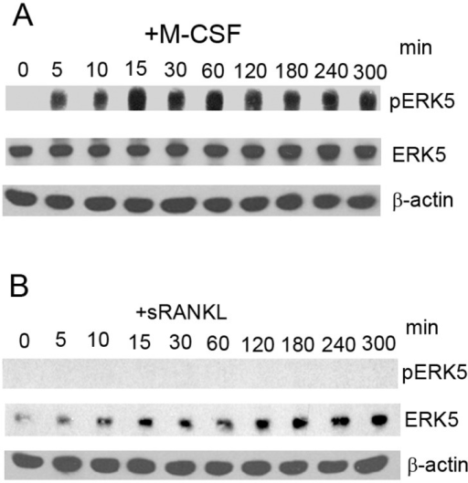 ERK5 was activated by M-CSF in 4B12 cells.(A, B) 4B12 cells were stimulated with 20 ng/ml M-CSF or 100 ng/ml sRANKL, and the phosphorylation of ERK5 was examined by Western blot analysis. Similar results were obtained in two independent experiments.