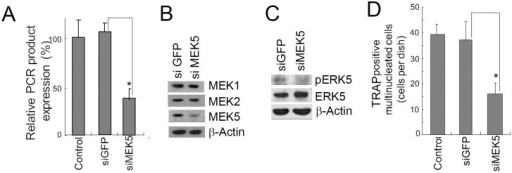MEK5 siRNA inhibited the formation of TRAP (+) MNCs in 4B12 cells.(A) 4B12 cells were transfected with GFP siRNA or MEK5 siRNA. The 4B12 cells (2.5 × 104) were cultured in the presence of M-CSF (10 ng/ml) and sRANKL (20 ng/ml). After 3 days, MEK5 gene expression was measured by qRT-PCR. Similar results were obtained in two independent experiments. *P<0.05 when compared with 4B12 cells transfected with GFP siRNA. (B) 4B12 cells (5 × 105) were transfected with siRNAs for GFP or MEK5. The levels of MEK1, 2, and 5 were analyzed by Western blot analysis. Similar results were obtained in two independent experiments. (C) 4B12 cells were transfected with siRNAs for GFP or MEK5. The cells were stimulated with M-CSF (10 ng/ml). After 30 min, the phosphorylation of ERK5 was monitored. Similar results were obtained in two independent experiments. (D) 4B12 cells (5 × 105) were transfected with GFP or MEK5 siRNAs. The transfected cells (5 × 103) were cultured in the presence of M-CSF (10 ng/ml) and sRANKL (20 ng/ml). After 6 days, the number of TRAP-positive MNCs was counted. Similar results were obtained in three independent experiments. *P<0.05 when compared with 4B12 cells transfected with GFP siRNA.