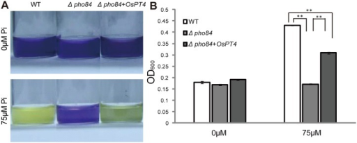 Function expression of OsPT4 in yeast.The yeast cells were grown in solution that had been stained for acidification. The pH indicator, bromocresol purple, did not change from blue to yellow until the yeast cells had significant growth in culture. The medium contained 0 μM and 75 μM Pi, respectively. A: Color shifts in wild-type (WT), yeast strain pho84 (control), and pho84+OsPT4, which express OsPT4 in pho84 grown on synthetic defined (SD) Ura mediums. B: Growth conditions of wild-type, pho84, and pho84 transformed with pYES2-OsPT4 generated in a 24-hour liquid culture under 0μM and 75μM Pi conditions. Statistically significant differences are indicated: **p<0.01, Student's one-way ANOVA analysis.