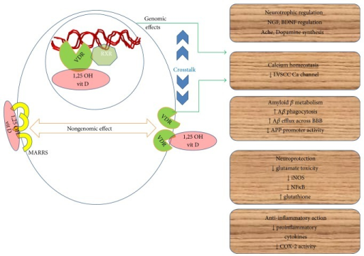 Mechanisms of 1,25 OH vitamin D mediated multitargeted neuroprotection in AD. VDR: vitamin D receptor, RXR: retinoid X receptor, MARRS: membrane associated rapid response receptors, and LVSCC: L voltage sensitive calcium channel.