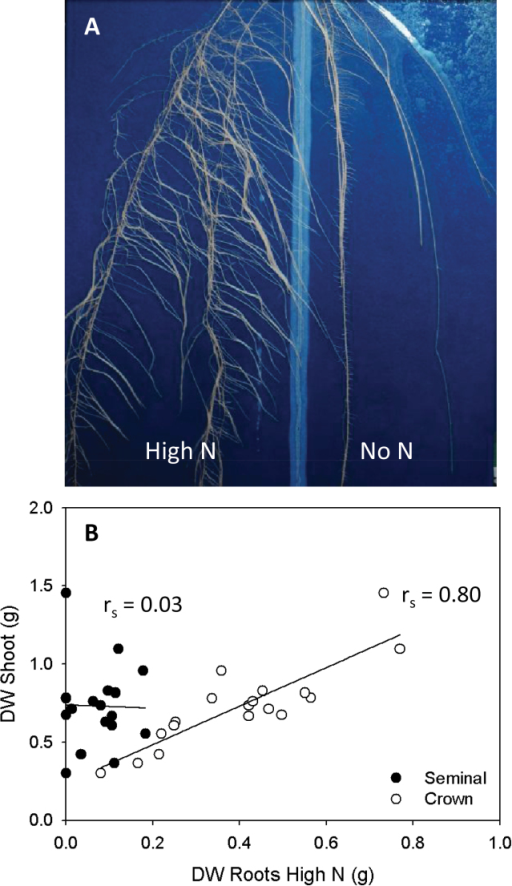 (A) Root distribution in a rhizoslide of 30-day-old Zea mays plants of which half the root system was subjected to high (17mM) N after 15 d of growing without N. (B) Correlations between dry weight (DW) of the shoot and DW of the seminal root system present in the high N compartment, and between DW of the shoot and DW of the crown root system present in the high N compartment. Significance tested with a Spearman's rank correlation (rs; n=18).