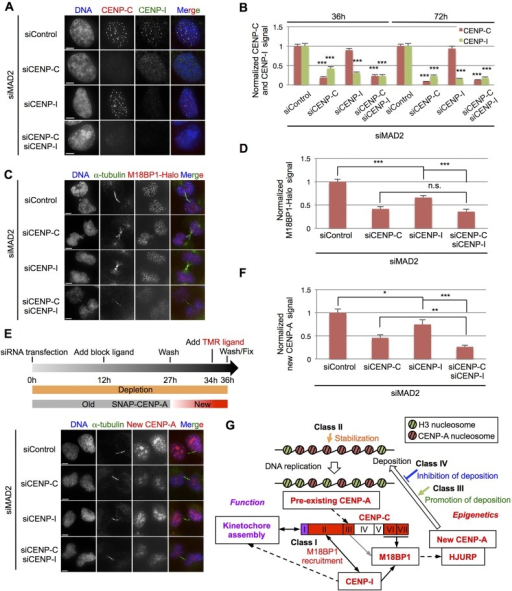 Centromere assembly of newly synthesized CENP-A requires CENP-C and is enhanced through CENP-I. (A) Representative images of HeLa-Int-03 cells transfected with control siRNA (siControl) or siRNA against CENP-C (siCENP-C), CENP-I (siCENP-i) or both, together with siRNA against MAD2 (siMAD2). Cells were stained with DAPI, anti-CENP-C (red) and anti-CENP-I (green) at 72 h after transfection. Scale bars: 5 μm. (B) Normalized CENP-C and CENP-I dot signals in each sample at 36 h and 72 h after siRNA transfection. ***P<0.001 (Mann–Whitney test). Results are mean±s.e.m. (n=39–48 cells). (C,E) Representative images of HeLa-Int-03 M18BP1–Halo cells (C) or HeLa-Int-03 SNAP–CENP-A cells (E) transfected with the indicated siRNAs. Cells were stained with DAPI, anti-α-tubulin (green) and the Halo-tag TMR Ligand (red) at 36 h after co-transfection (C). A schematic for the experiment in E is shown above the images. Pre-existing SNAP–CENP-A was quenched with block ligand until 9 h before fixation, and then newly synthesized SNAP–CENP-A was labeled with SNAP TMR Ligand before fixation at 36 h after siRNA transfection (E). Scale bars: 5 μm. (D,F) Normalized M18BP1–Halo (D) or normalized new CENP-A (F) dot signals in each sample. Asterisks indicate significant differences. *P<0.05; **P<0.01; ***P<0.001; n.s., not significant (Mann–Whitney test). Results are mean±s.e.m. (n=43–50 cells). (G) CENP-C and CENP-I coordinate centromere 'function' and 'epigenetics'. Solid lines show recruitment activity observed in our present experiments and dashed lines show recruitment activity indicated previously. The CENP-C N-terminus assembles kinetochore through the Mis12 complex (function) and its C-terminus assembles newly synthesized CENP-A through M18BP1 (epigenetics). CENP-I recruited by the CENP-C domain II (amino acids 72–425) supports both pathways. Each class is also involved in maintenance of CENP-A assembly (see Discussion).