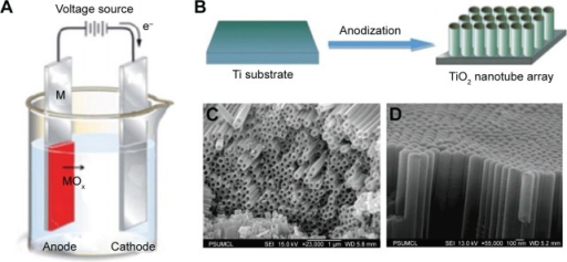 The formation and structure of TNTs.Notes: (A) and (B) Electrochemical cell and anodization process for the formation of TNT layer on Ti substrate. SEM images of TNTs for (C) bottom and side surface and (D) top surface. (A) Reprinted Curr Opin Solid State Mater Sci, 11, Macak JM, Tsuchiya H, Ghicov A, et al, TiO2 nanotubes: self-organized electrochemical formation, properties and applications, 3–18,34 copyright 2007, with permission from Elsevier. (B) Reproduced from Ge MZ, Cao CY, Li SH, et al. In situ plasmonic Ag nanoparticle anchored TiO2 nanotube arrays as visible-light-driven photocatalysts for enhanced water splitting. Nanoscale. 2016;8:5226–5234,43 with permission of The Royal Society of Chemistry. (C, D) Reprinted with permission from Paulose M, Shankar K, Yoriya S, et al. Anodic growth of highly ordered TiO2 nanotube arrays to 134 μm in length. J Phys Chem B. 2006;110:16179–16184.20 Copyright 2006 American Chemical Society.Abbreviations: SEM, scanning electron microscope; TNT, titania nanotube.