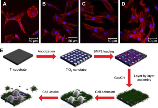 CLSM observations of MSCs adhered to different substrates after culture for 1 day.Notes: (A) Bare TNTs; (B) BMP2-loaded TNTs; (C) Gel/Chi multilayer-coated TNTs; (D) Gel/Chi multilayer-coated and BMP2-loaded TNTs; and (E) schematic illustration of the fabrication of BMP2-loaded TNTs and cellular responses. Reprinted from Acta Biomater, 8, Hu Y, Cai K, Luo Z, et al, TiO2 nanotubes as drug nanoreservoirs for the regulation of mobility and differentiation of mesenchymal stem cells, 439–448,71 Copyright (2012), with permission from Elsevier.Abbreviations: BMP2, bone morphogenetic protein 2; TNT, titania nanotube; MSCs, mesenchymal stem cells; CLSM, confocal laser scanning microscope.