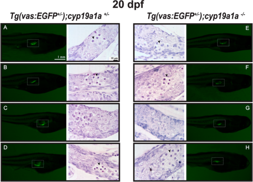 Gonad development at 20 dpf in the control [Tg(vas:EGFP);cyp19a1a+/−; fish A–D] and mutant [Tg(vas:EGFP);cyp19a1a−/−; fish E–H]. Similar GFP signals (boxed in the photo) were observed in the two groups and histological examination showed no significant difference. Meiotic germ cells (arrowhead) with condensed chromatin were often seen in both the mutant and control gonads.