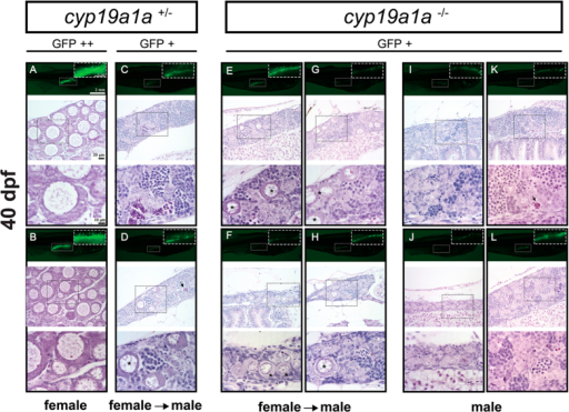 Gonad development at 40 dpf in the control (cyp19a1a+/−; fish A–D) and mutant (cyp19a1a−/−; fish E–L). The control fish had well-differentiated ovary (A and B) and testis (C and D), whereas all the mutant individuals were undergoing or had completed ovary-testis transformation with typical testicular tissues containing different stages of spermatogenic cells. Some individuals (E–H) still contained a few typical EPOs (asterisks) scattered among the testicular tissues. Arrows indicate the apoptotic germ cells.
