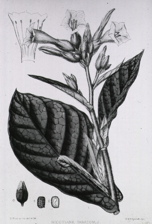 <p>Stem of the plant showing foliage, flowers, bud or seedpod, and seed which is also shown in cross section.</p>