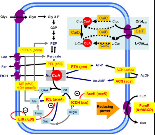 Simplified model for the interaction of L-carnitine production pathway with central metabolism of E. coli strains. The main pathways involved (and their codifying genes) are shown. Central metabolism: AceK (aceK), isocitrate dehydrogenase phosphatase/kinase; ACK (ackA), acetate kinase; ACS (acs), acetyl-CoA synthetase; ICDH (icd), isocitrate dehydrogenase; ICL (aceA), isocitrate lyase; ICLR (iclR), repressor of the glyoxylate shunt; MDH (maeB), malate dehydrogenase; ME (sfcA), malic enzyme; PEPCK (pckA), phosphoenolpyruvate carboxykinase; PFL (pflB), pyruvate:formate lyase; PTA (pta), phosphotransacetylase; FumR (frdABCD), fumarate reductase. L(-)-carnitine pathway: CaiB: carnitine:CoA transferase; CaiC: betaine:CoA ligase; CaiD, enoyl-CoA hydratase; CaiT, carnitine/crotonobetaine/γ-butyrobetaine transporter. Pathway regulators are shown in red. Steps which are not functional under anaerobiosis are shown with grey arrows. Adapted from [30].