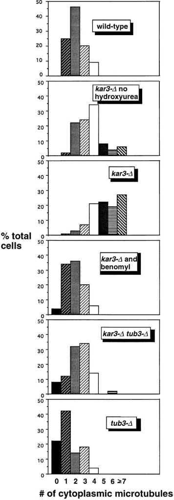 The increased cytoplasmic microtubule number in hydroxyurea-arrested  kar3-Δ cells can be corrected  by addition of benomyl or  deletion of TUB3. All samples were arrested with hydroxyurea (except as indicated) for 4 h at 26°C, fixed,  and stained with anti-tubulin  antibodies by indirect immunofluorescence (see Materials and Methods). Cells were  examined by epifluorescence microscopy, and the  approximate number of cytoplasmic microtubules was determined. Cytoplasmic microtubules were defined as  those that were too long to be  nuclear and/or that clearly  pointed away from the nuclear envelope. Loss of  Kar3p resulted in an increase  in cytoplasmic microtubules,  especially in the hydroxyurea-arrested culture. This  defect could be mostly corrected by addition of 10 μg/ ml benomyl to the culture  medium or by deletion of the  TUB3 genomic locus. tub3-Δ  single mutants had fewer cytoplasmic microtubules than  wild-type cells, while the  tub3-Δ kar3-Δ double mutants had a number intermediate between that of tub3-Δ and kar3-Δ single mutants. The number of  cytoplasmic microtubules from 100 cells was determined for each  sample. Note that these numbers may represent an underestimate of the total, as some short microtubules (∼25% of the total) could not be determined to be nuclear or cytoplasmic. Also,  the most abnormal spindles in the kar3-Δ populations were probably not recognized as spindles and not included in the sample.